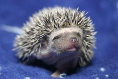 Baby hedgehogs available for sale in Tuscaloosa AL Baby Hedgehogs, A Hedgehog, Baby Hedgehog