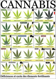 Marijuana Leaf Deficiency And Abundance Of Fertilization Elements
