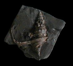 Pseudanchura cf. carinata (Mantell, 1822); Bully, Normandy, France; Albian, Cretaceous; Coll. Elmar Mai
