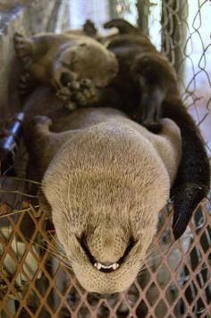 Baby otter sleeping, from Cute Overload Animals And Pets, Baby Animals, Funny Animals, Cute Animals, River Otter, Sea Otter, Otter Pup, Funny Animal Pictures, Cute Pictures