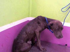 10/22/16 - TEXAS - ON BORROWED TIME - STARVED, ABUSED FEMALE PTTIE NEEDS LOVING HOME - FOSTER, EVEN TEMPORARILY, UNTIL SHE GAINS SOME WEIGHT.  SHELTERS PAY FOR VET BILLS WHEN YOU FOSTER.  PLEASE DON'T LET HER DIE! HADLEY is an adoptable Staffordshire Bull Terrier searching for a forever family near Houston, TX. Use Petfinder to find adoptable pets in your area.