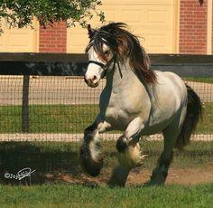 Gypsy Vanner Horse for Sale | Stallion | Buckskin | MVP's Segway