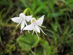 Afbeeldingsresultaat voor monkey orchid flower