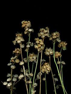 Malva moschata by horticultural art Simply Beautiful, Photo Art, Dandelion, Flora, Berries, Seeds, Plants, Beauty, Dandelions