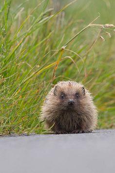 Hedgehog (Erinaceus europaeus) 11 Jun-11-344.jpg
