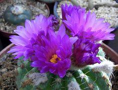 Notocactus uebelmannianus (lizzy) cactus