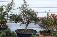 Pomegranate bonsai in bloom.