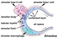 alveoli histology - Google Search