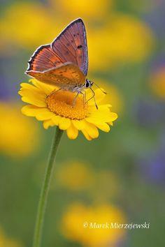 Purple-Shot Copper (Lycaena alciphron)  by Marek Mierzejewski www.butterfly-photos.org on 500px