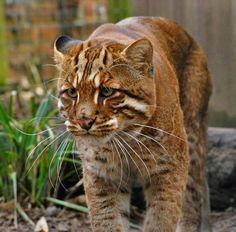 Asian Golden Cat.