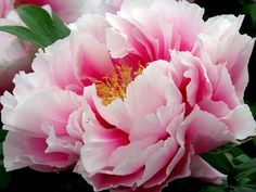 Flower King / 牡丹 Japanese Tree Peony (by k_keiko) For me the Peony is the most beautiful flower in the world!