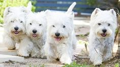 FOUR times the FUN... Westies.