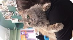 Media, PA - Domestic Shorthair. Meet Maui (foster), a cat for adoption. http://www.adoptapet.com/pet/14934076-media-pennsylvania-cat