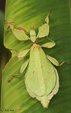 Small Lamphun leaf insect / Wood-Mason's leaf insect by bug eye, Thailand, via Flickr