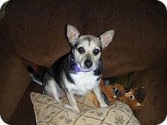 Fort Wayne, IN - Chihuahua/Terrier (Unknown Type, Medium) Mix. Meet Hope, a dog for adoption. http://www.adoptapet.com/pet/17485696-fort-wayne-indiana-chihuahua-mix
