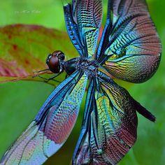 黑丽翅蜻RhyothemisfuliginosaSelys,1883   Flickr - Photo Sharing!