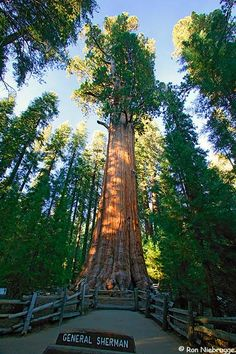 General Sherman Sequoia, Sequoia National Park, he is absolutely magnificent!