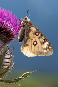 ~~Apollo butterfly {Parnassius apollo} resting on thistle head in alpine meadow. Nordtirol, Tirol, Austrian Alps, Austria by Alex Hyde~~