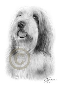 BEARDED COLLIE pencil drawing print - A4 size - artwork signed by artist Gary Tymon - Ltd Ed 50 prints only - dog portrait
