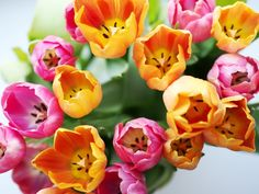 Pink and orange tulips | Pupulandia