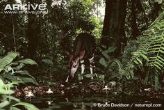 okapi wild natural habitat photo - Google Search