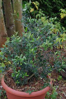 Mr. Greens Welt: Olive strozt den Temperaturen