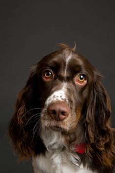 English Springer Spaniel...very sweet and lovable breed