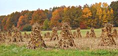 Amish fields are filled with corn shocks.