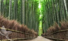 Bamboo tree in Kyoto