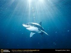 Great White Shark Picture, Great White Shark Desktop Wallpaper ...