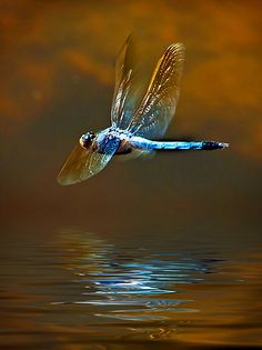 This photo represents a dragon fly in full motion flying just over the water as they often do. Notice the blue contrasting the orange back drop, and the intensity of the dragon flies colors reflect off the water. Beautiful Bugs, Beautiful Butterflies, Horse Caballo, Dragonfly Art, Dragonfly Symbolism, Bugs And Insects, Mundo Animal, Oeuvre D'art, Macro Photography