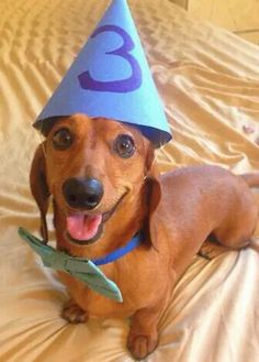Smiley - faced dachshund in it's costume. Or could it be turning three? Adorable.