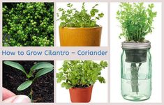 Cilantro is also known as Coriander which is derived from a Spanish word. House Plants Decor, Plant Decor, Growing Coriander, Cilantro Plant, How To Grow Your Hair Faster, Raised Planter, Herbs Indoors, Garden Planters, Growing Vegetables