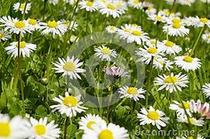 Close up green meadow and daisies