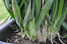 egyptian walking onions. they come back every year! learn how they walk, and a new easy way to garden.  ~Mel @ RaisedUrbanGarden.com