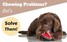 Chewing problems? Let's solve them! Written beside a choc lab pupy chewing a slipper on white background