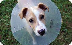 Boston, MA - Pit Bull Terrier Mix. Meet PHILOMENA, a puppy for adoption. http://www.adoptapet.com/pet/11361675-boston-massachusetts-pit-bull-terrier-mix