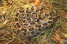 Mexican Pigmy Rattlesnake (Sistrurus ravus) is a venomous pitviper species, found only in Mexico. Three subspecies are currently recognized. Found only in Mexico in the mountains in the center and south of the country, west of the Isthmus of Tehuantepec.