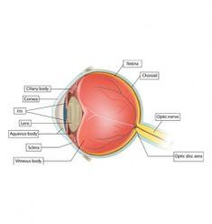 eye anatomy vector