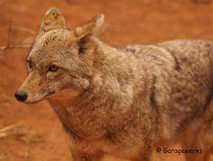 Coyote, via Flickr.