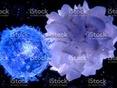 Dendritic cell interacts with a T-cell royalty-free stock photo