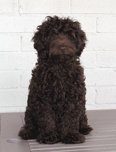 A Portuguese Water dog named Peggy has an important role in the novel 'L.A. Ladies'.