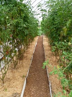 How To Grow 10 Foot Tomato Plants - http://www.ecosnippets.com/gardening/how-to-grow-10-foot-tomato-plants/