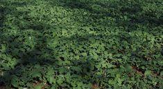 Használjuk a talajtakarókat zöldtrágyaként - Szakértői tanácsok!