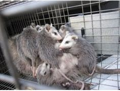 Our company provide you best services to control the pest and other animals. Critter & Pest Defense offers humane animal removal services, including critter removal, wild animal problem expectation, structure damage and attic repair without unnecessarily killing wildlife. More Detail: http://www.critterandpestdefense.com/animal-removal-services/