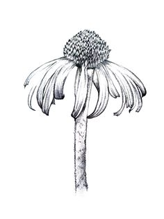 black and white flower line drawings Flower Line Drawings, Botanical Line Drawing, Outline Drawings, Botanical Drawings, Botanical Art, Art Drawings, Botanical Illustration Black And White, Drawing Flowers, Plant Drawing