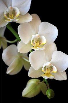 White Orchid Flower Essence correspondence for AKBAL | Mayan Oracle, Ariel Spilsbury