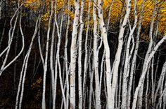 Aspens Nightime Aspen Trees Autumn Evening Forest by SimplyLodge, $50.00