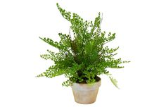 """19"""" Maidenhair in Planter, Faux Now: $52.00 Was: $89.00"""