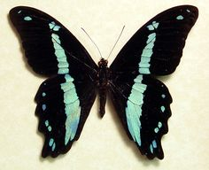 butterflies | ... blue butterfly from africa real butterflies moths and insects in